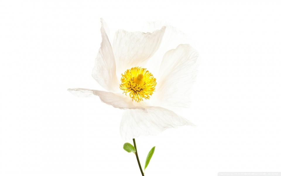 matilija_the_white_poppy-wallpaper-960x600